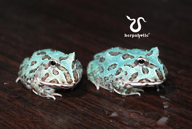 紫藤角蛙(異變)幼體